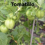 tomatillo cover