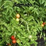 tomato cover