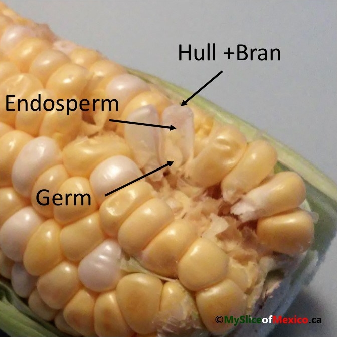 00 anatomy of a corn kernel My Slice of Mexico