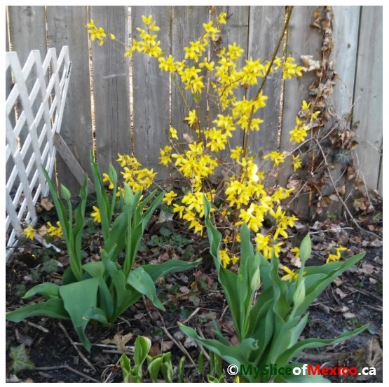 forsythia and tulips May 2018