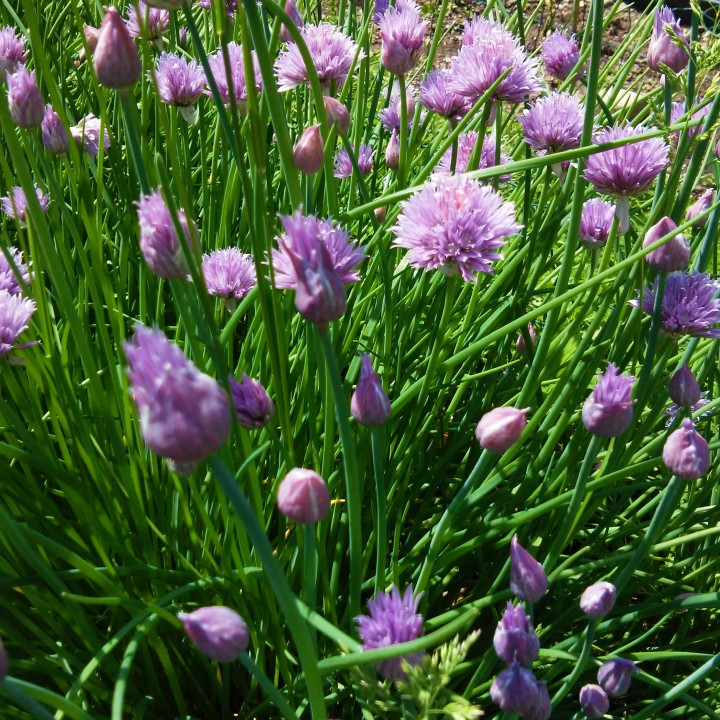 Onion chives may 2018
