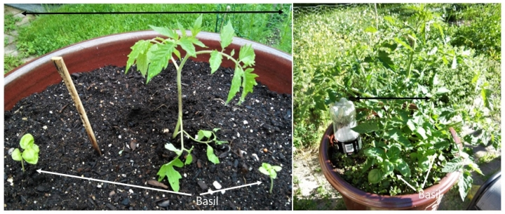 june 1 to 14 comparison tomato and basil