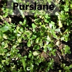 Purslane My Slice of Mexico