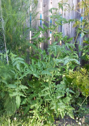 Tomato crop. My garden, July 2018