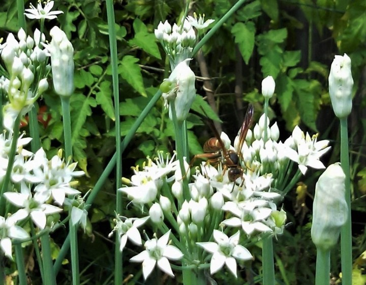 Sunday Brunch – Garlic Chive Nectar