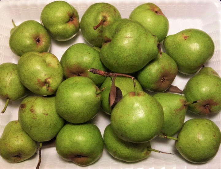 free pears from Toronto street tree