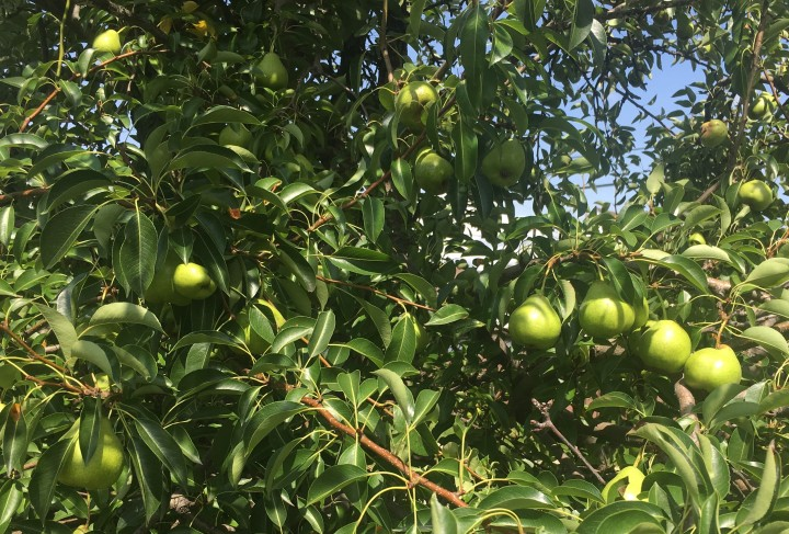 pears on tree Tornto 2018