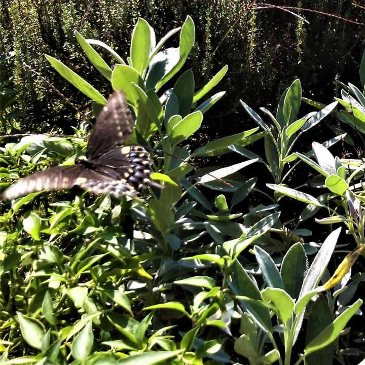 Swallowtail butterfly taking off 2