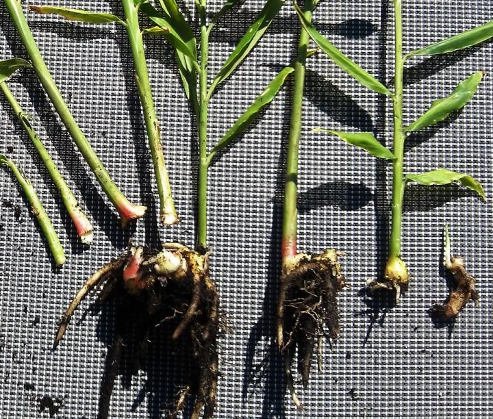 Ginger – Re-planting theHarvest