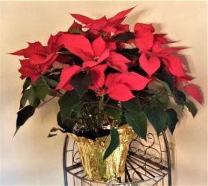 001 potted poinsettias