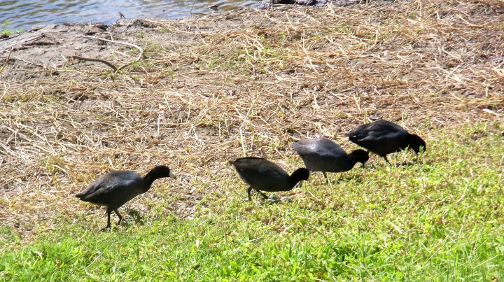 003 birds by the river - Culiacan 2015