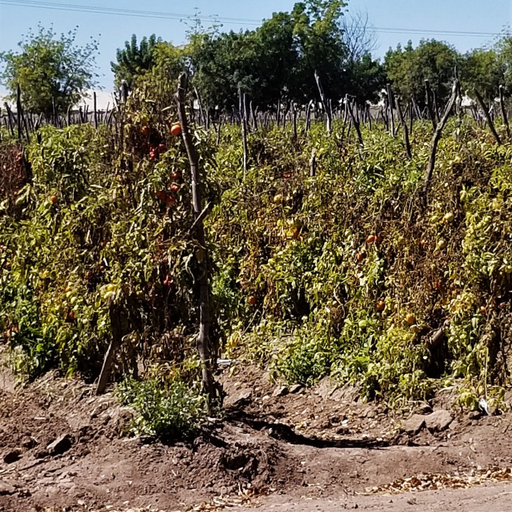 tomato plant Culiacan spring 2019