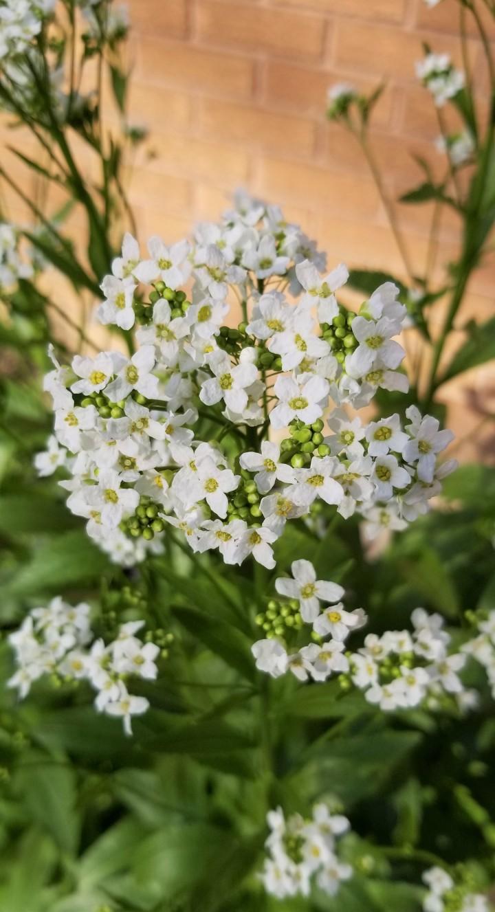 Flower of the Day –Horseradish