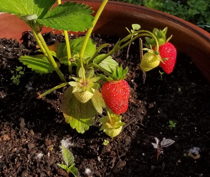 20190607 A strawberry plant with fruit