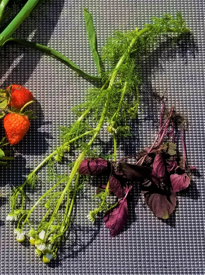 red perilla and chamomile 2019