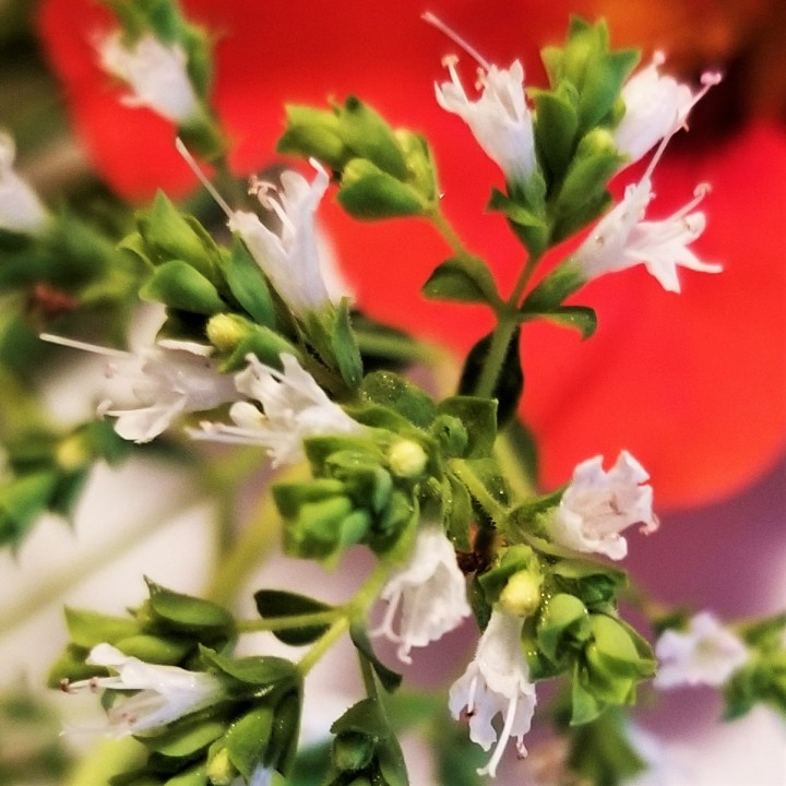 002 Oregano in bloom