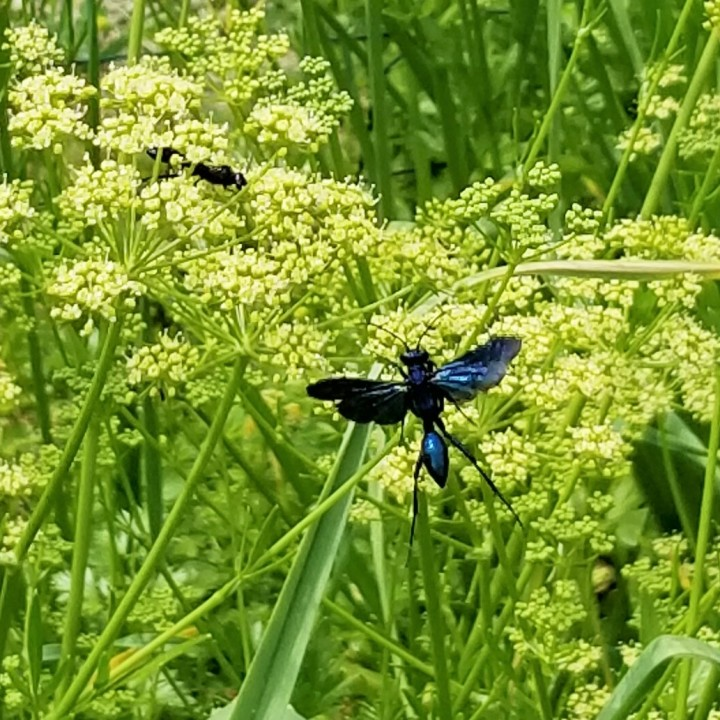 20190627_Great black wasps and parsley in bloom