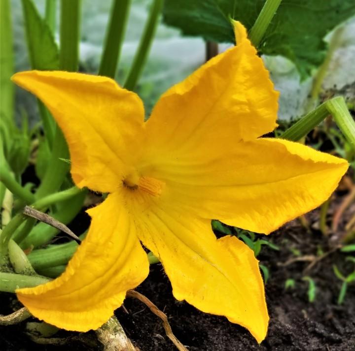 Flower of the Day – CucurbitaPepo