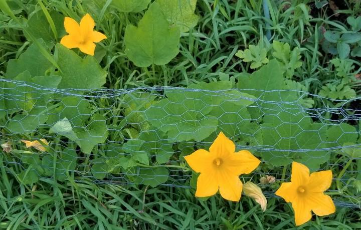 squash flowers 2019
