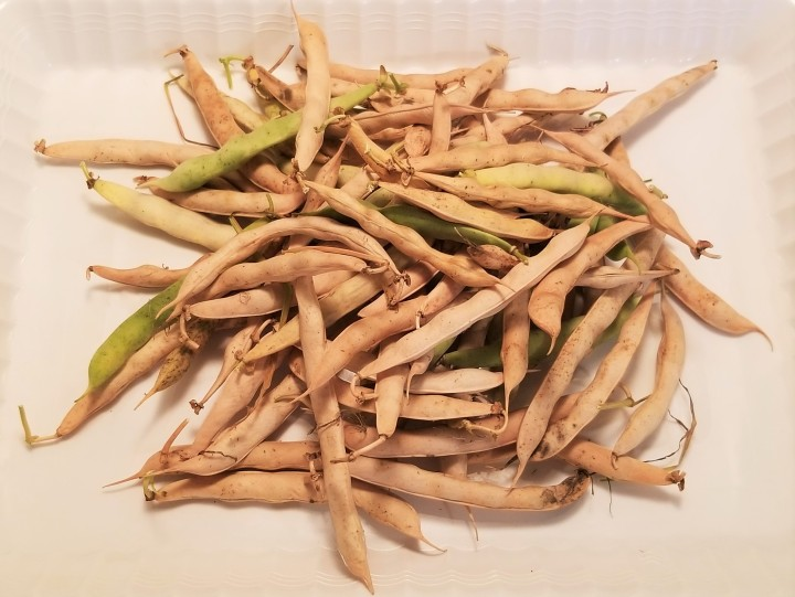 002 Calypso bean pods harvest 2019