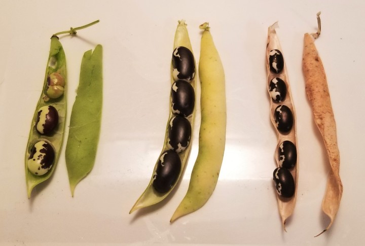 003 stages in Calypso bean