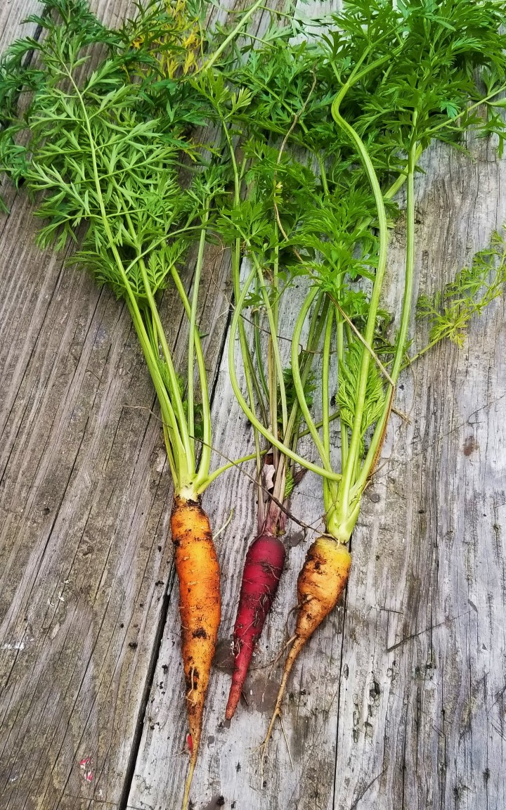 FOTD – Harvest Update: Carrots