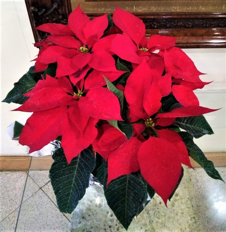 FOTD – Poinsettias