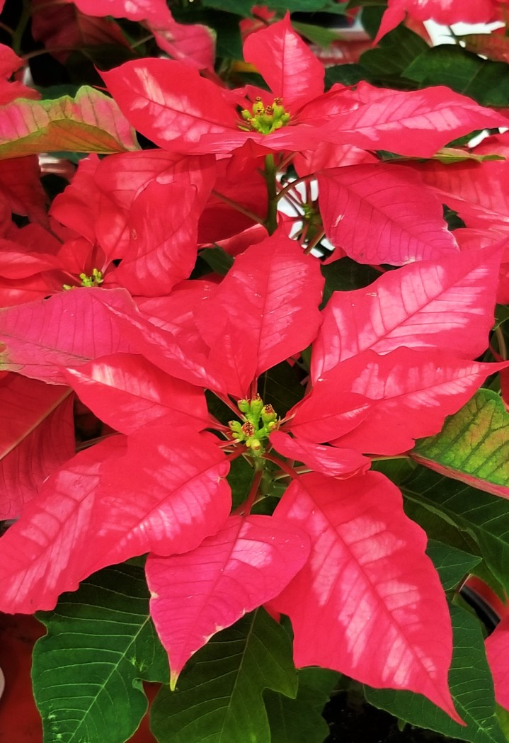 Variagated poinsettia