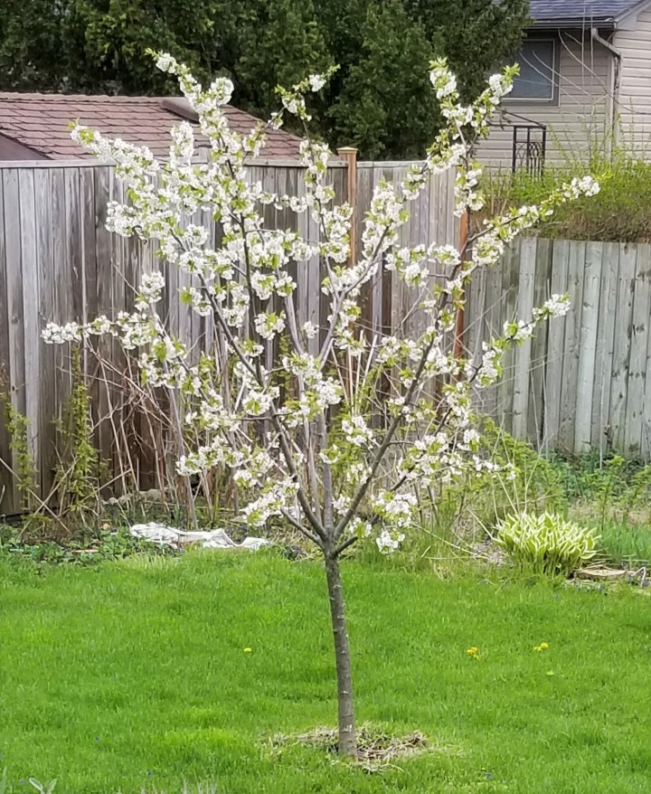008 cherry tree