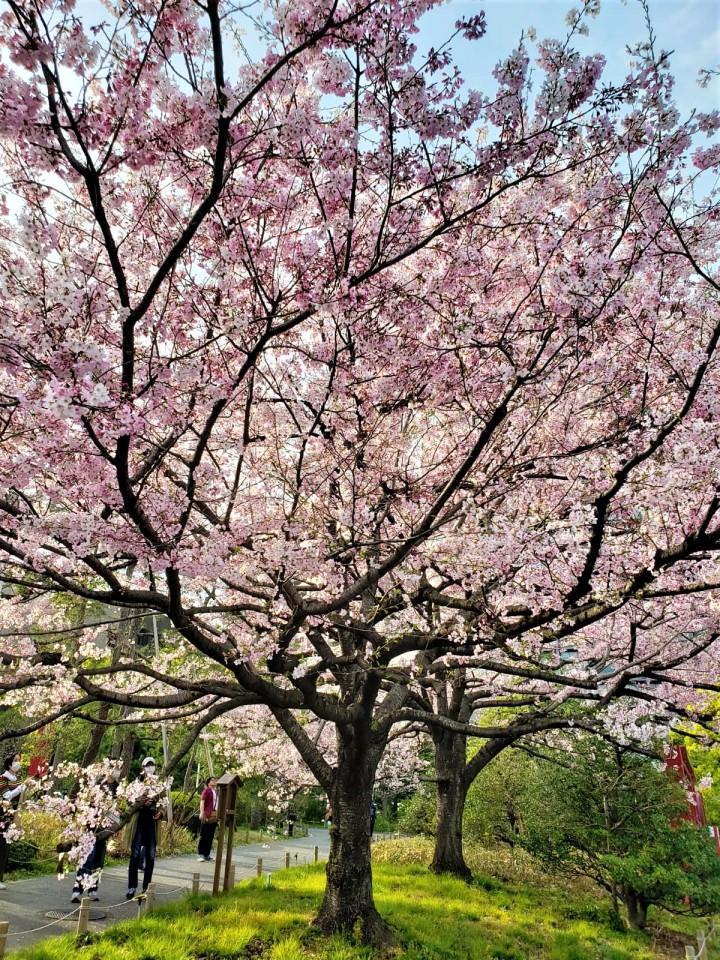 20200322- Japan Sakura