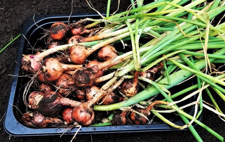 Harvest Time – MultiplierOnions