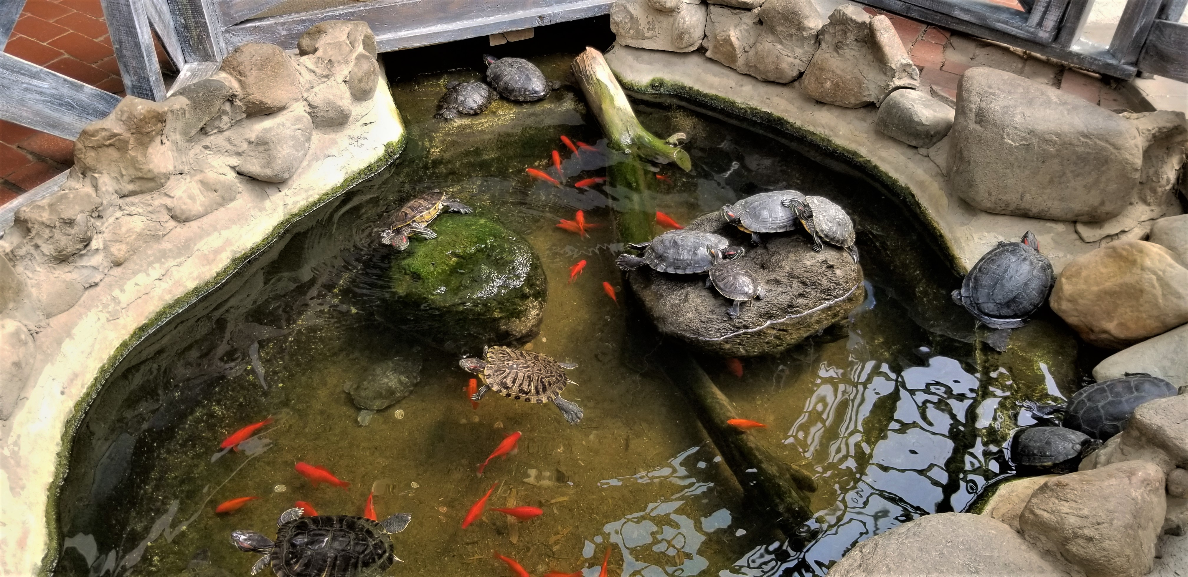 Pond with gold fish and turtles at Colasanti's