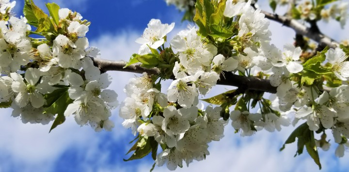 Flower of the Day – The Earliest Cherry Blossoms