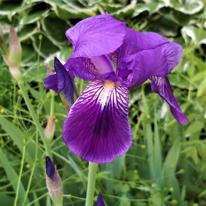 Flower of the Day –Iris