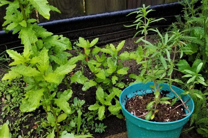 Bean Herbs: Epazote and SummerSavoury